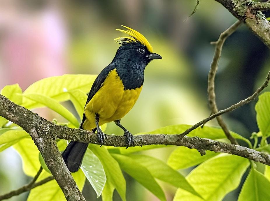 Himalayanbirds
